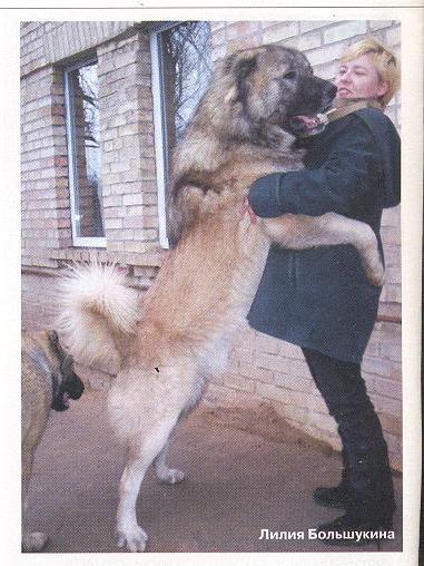 Категория.  Продаются щенки-подростки кавказской овчарки