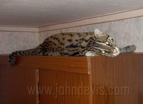Felis viverrinus - Виверровый кот-рыболов