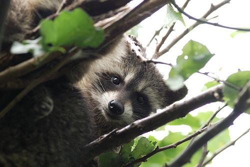 Собака уссурийский енот raccoon dog