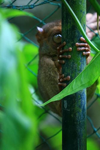 долгопят филиппинский (Tarsius syrichta)