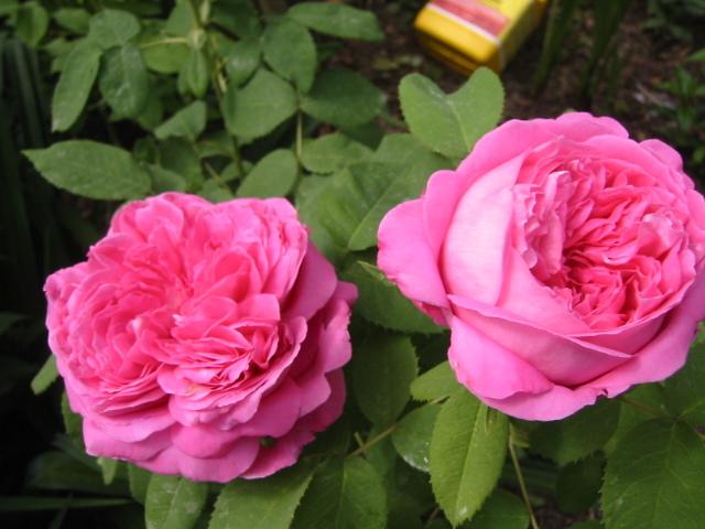 розы Mrs. John Laing
