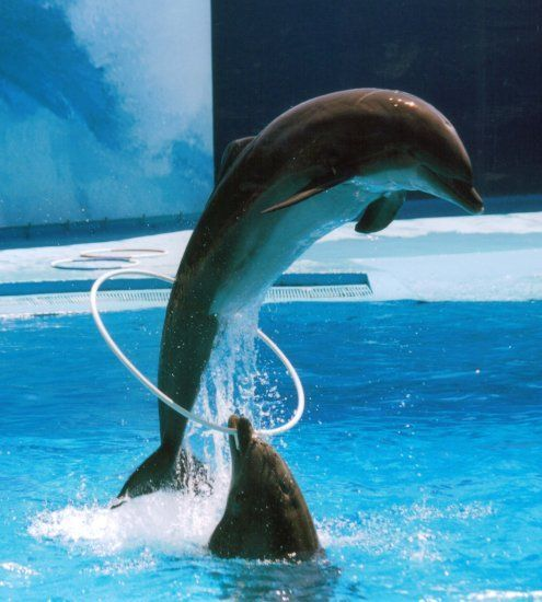 Выступление дельфинов в дельфинарии.