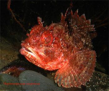 Морской ерш, черноморская скорпена Scorpaena porcus.