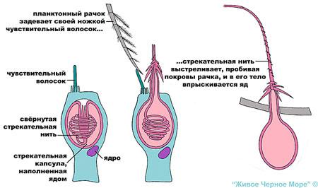 Медузы обездвиживают, или даже убивают свою добычу (это - мелкие планктонные животные, мальки рыб) с помощью специальных стрекательных клеток