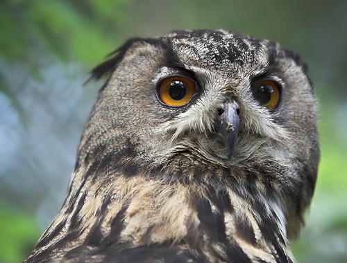 Крупнейшая живущая сова — евразийский филин (Eurasian Eagle Owl, Bubo bubo).