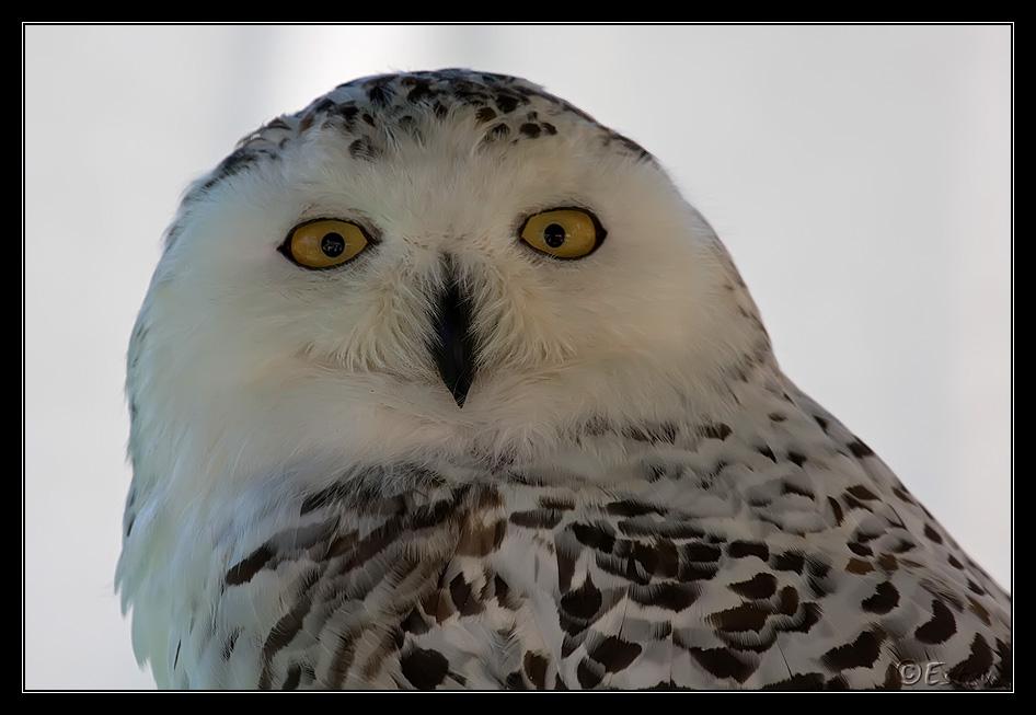 Некоторые из видов сов охотятся днем, снежная сова (Bubo scandiacus)