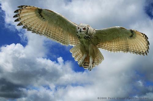На передней части крыльев сова имеет особые неровности, вызывающие завихрения воздуха. Это уменьшает шум от крыльев, и делает полет бесшумным.