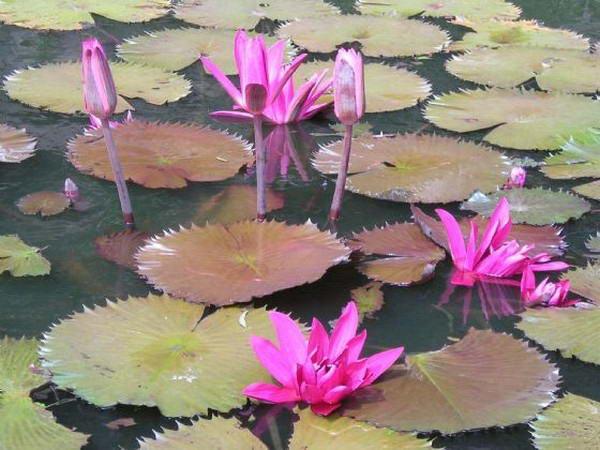 На Востоке цветок лотоса - священный. Он олицетворяет непорочность, совершенство, изящество и стремление вверх к солнцу, к духовной чистоте.