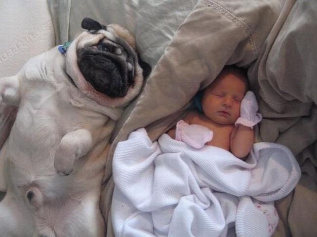Мопс и грудной ребенок сладкая