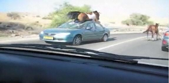 Осторожно, на дороге — лошади!  00e46wtx