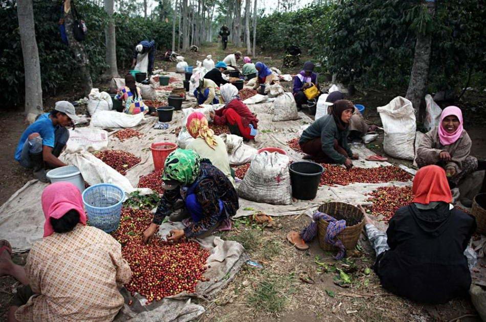 Поставка кофе сорта «Kopi Luwak» весьма ограничена: каждый год на рынок попадает всего лишь около 1000 фунтов. В «Heritage Tea Rooms», небольшой кофейне возле австралийского города Таунсвилл, этот сорт кофе подают за $ 50 австралийских долларов за чашку, что составляет около $ 33 долларов США. (Ulet Ifansasti/Getty Images)