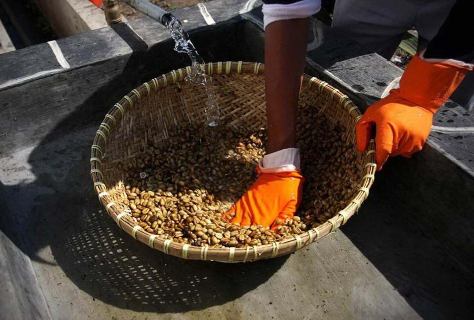 После сбора сотрудник готовит кофейные зерна, промывая их водой. (Ulet Ifansasti/Getty Images)