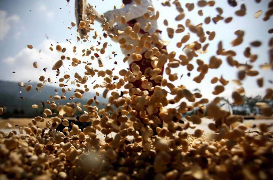 Работник просеивает и разравнивает кофейные зерна для сушки, прежде чем слегка их обжарить. (Ulet Ifansasti/Getty Images)