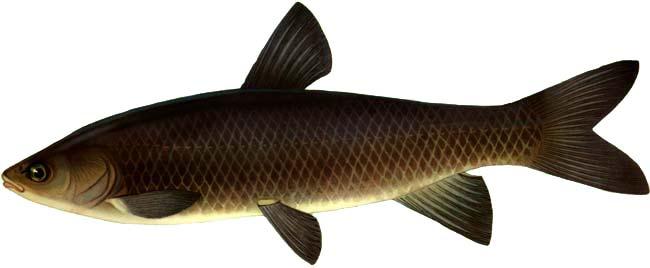 Белый Амур - рыба семейства карповых.  Белый амур водится только там...
