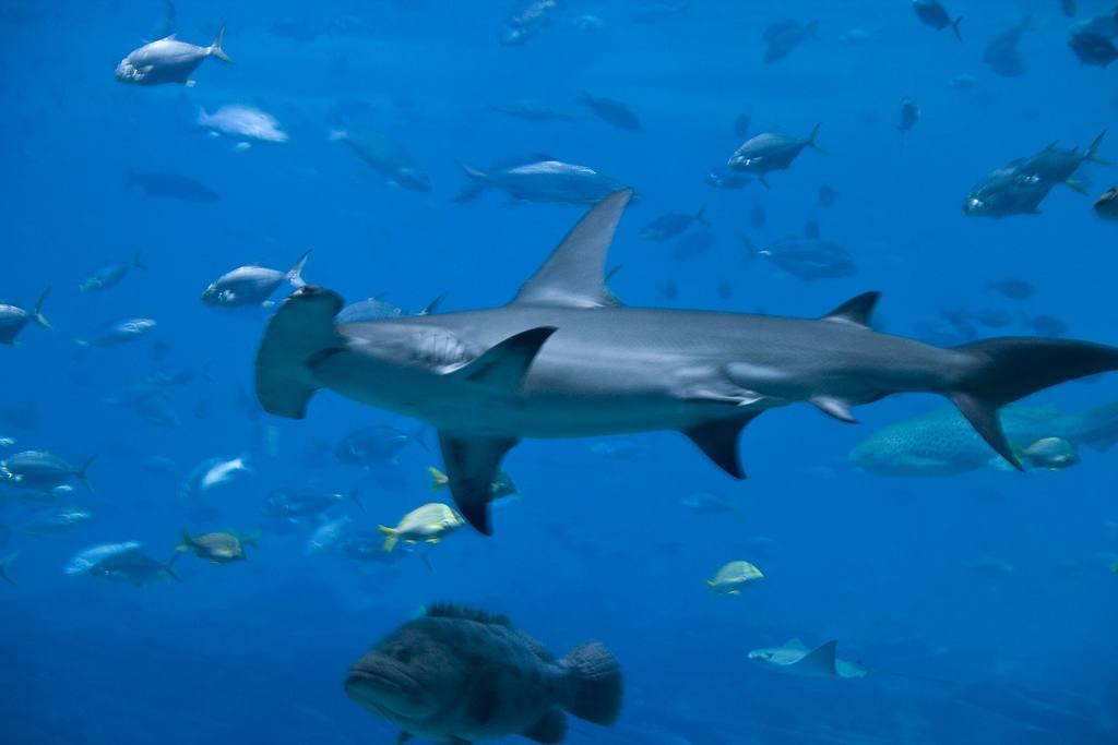 Акула-молот мало того что может смотреть назад, вперед и по сторонам — она еще смотрит вертикально вниз и даже может замерять глубину.