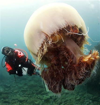 Медуза вида Nemopilema nomurai.