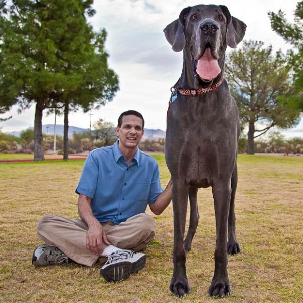 Голубой дог по кличке Джордж - самая большая собака в мире
