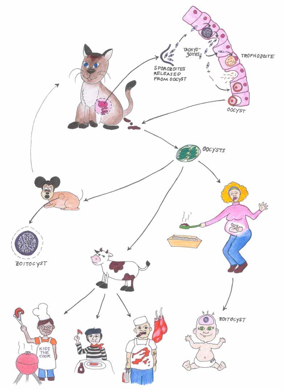 Жизненный цикл Toxoplasma gondii