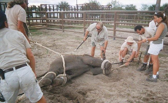 Как дрессируют слонят