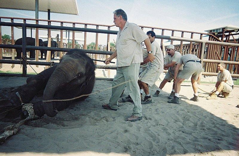 Слоненка связывают и заставляют принять нужную позицию.