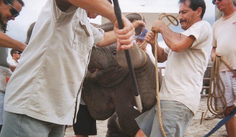 Цирк заявлял, что все трюки – всего лишь усовершенствование естественных способностей слонов, и что они используют только голос и поощрения во время дрессировок. На этих фотографиях видно, какие «поощрения» использует цирк.