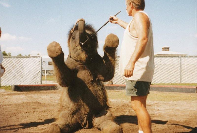 Гэри Джейкобсон использует крюк, чтобы слоненок научился держать хобот кверху.