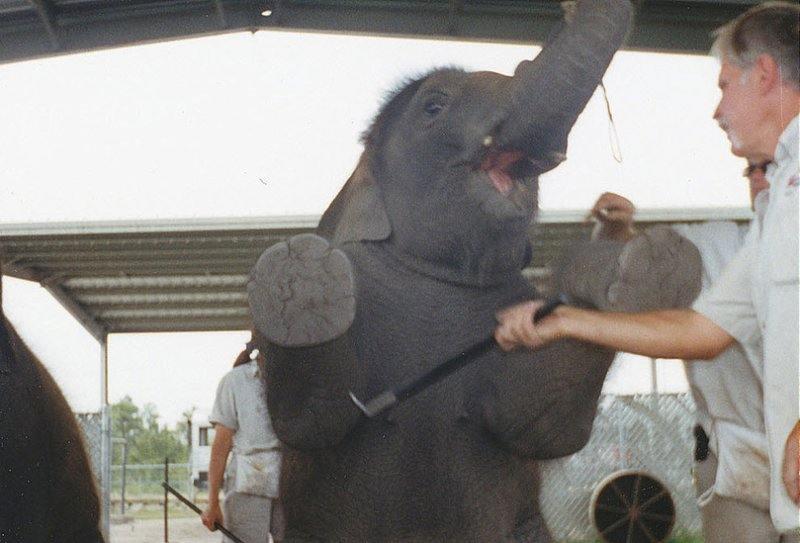 В результате жестоких тренировок слонята учатся сидеть, лежать, стоять на голове, на задних лапах, поднимать хобот, пинать мяч и другие трюки.