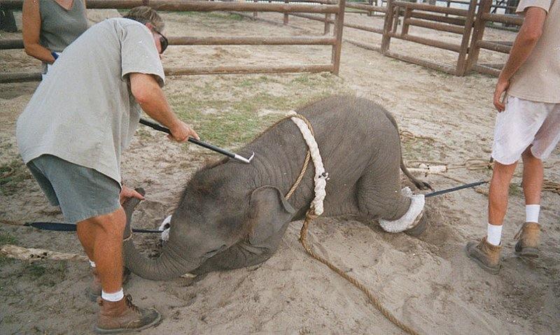 Знаменитый «центр сохранения слонов» на территории цирка «Ringling Bros.» на самом деле – лагерь, в котором мучают бедных слонят, чтобы научить их выполнять нелепые трюки в цирке.
