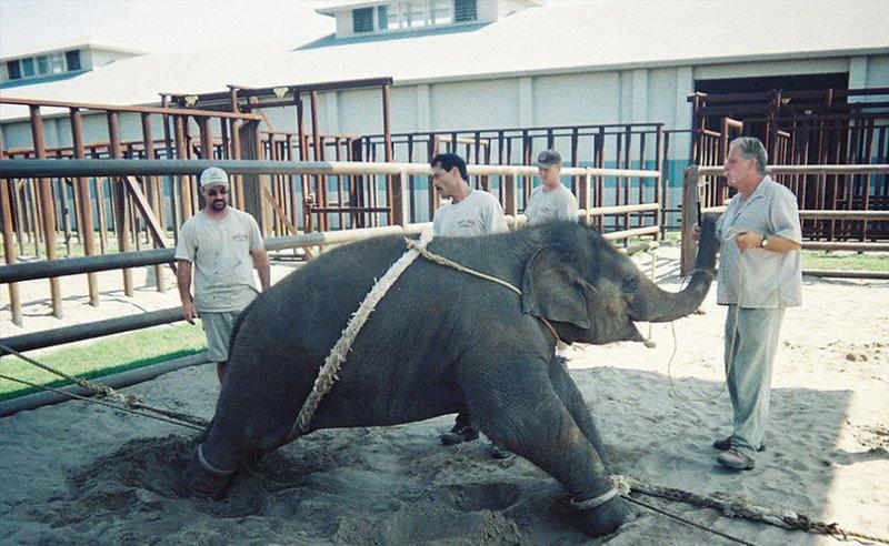 Во время подобных процедур слоненок постоянно кричит и страдает.