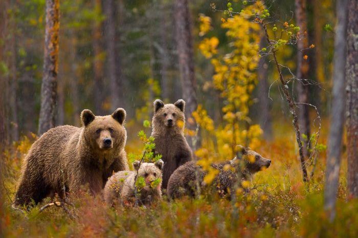 Медведь - Архив природы России
