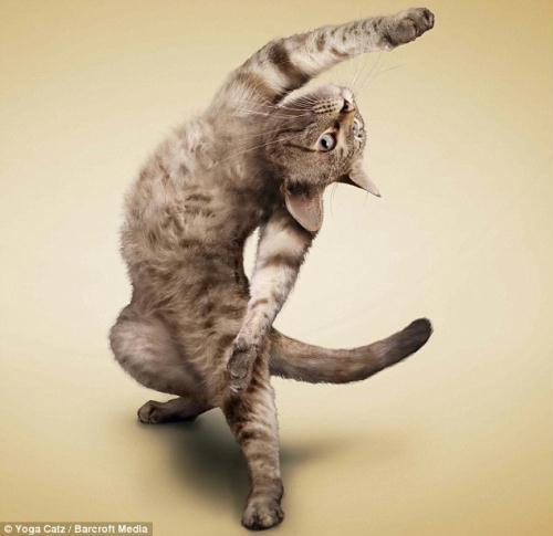 http://animalworld.com.ua/images/2009/December/Raznoe/Kotenok/Yoga-loving_cats-1.jpg