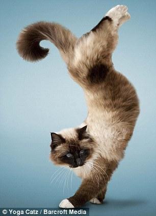 http://animalworld.com.ua/images/2009/December/Raznoe/Kotenok/Yoga-loving_cats-4.jpg