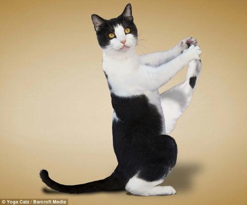 http://animalworld.com.ua/images/2009/December/Raznoe/Kotenok/Yoga-loving_cats-5.jpg