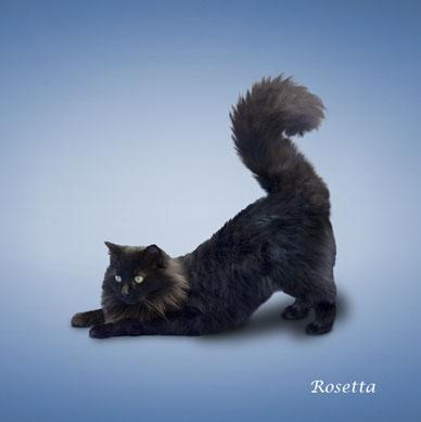 http://animalworld.com.ua/images/2009/December/Raznoe/Kotenok/Yoga-loving_cats-7.jpg