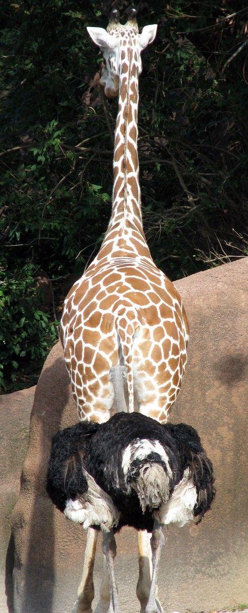 забавные животные, жираф и страус