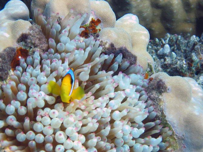 у рыб-клоунов нет природного иммунитета к ожогам стрекательными клетками