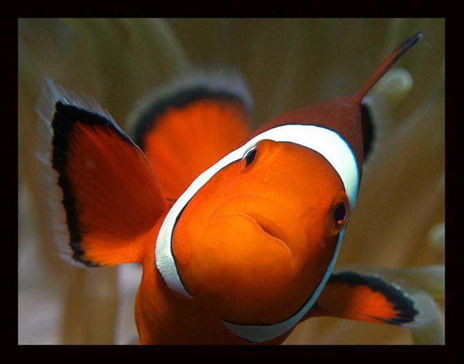Известно 26 видов рыб-клоунов, из которых 25 представляют род Amphiprion, а один — род Premnas, единственный вид — Premnas Lасnteatus.