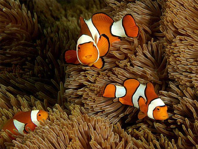 Рыбы-клоуны обычно невелики: в природе их размеры не превышают 12−13 см