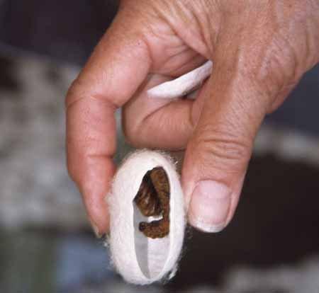 Внутри кокона находится сморщенная гусеница, которая через 12 дней превращается в мотылька.