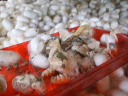 Ту́товый шелкопря́д (лат. Bombyx mori), или шелкови́чный червь — гусеница и бабочка, играющие важную экономическую роль в производстве шёлка.
