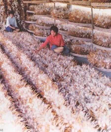 Выращивание тутового шелкопряда в россии 56