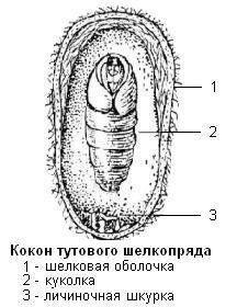 Кокон тутового шелкопряда
