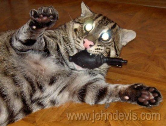 Рыбная азиатская кошка (Felis viverrina)