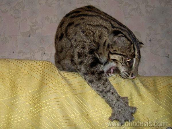 Жизнь виверрового кота рыболова