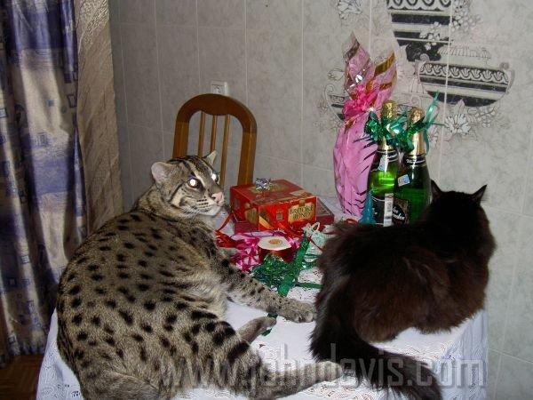 китайский кот рыболов