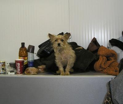 Московский дракон – небольшая собака