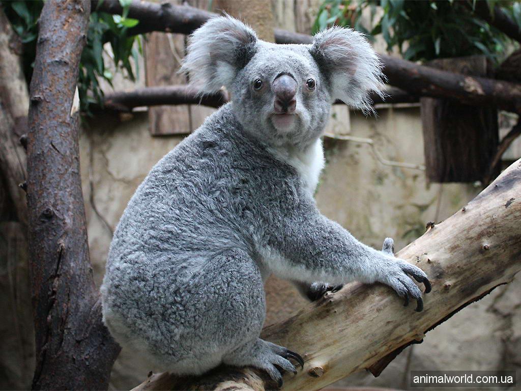 Сексуальные коалы картинки 9 фотография