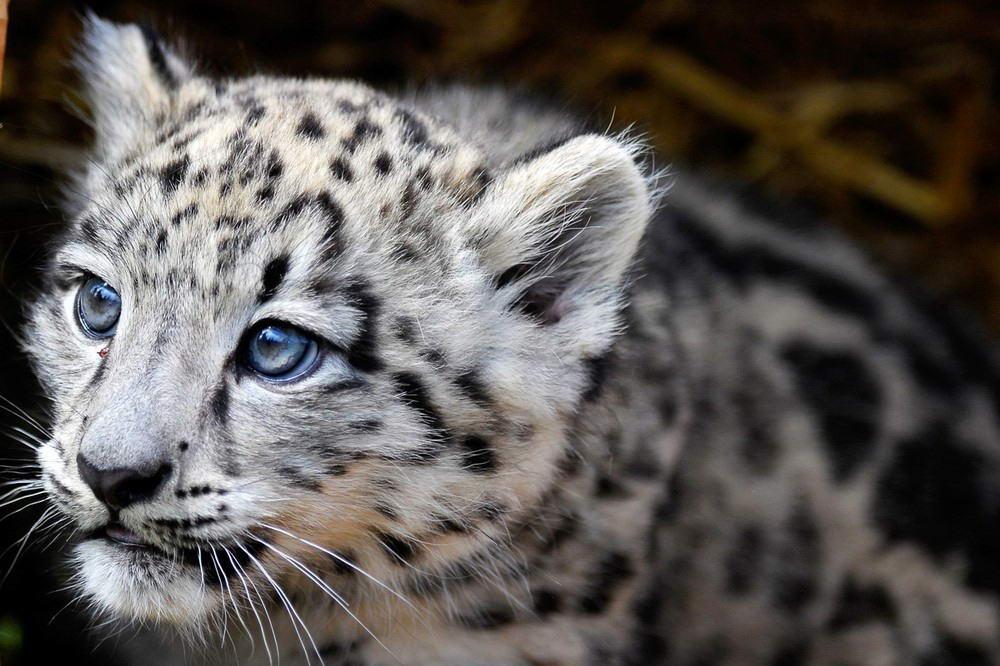 С некоторых пор во многих зоопарках добиваются успехов по размножению снежных барсов.