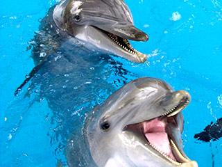 Гомосексуальность среди дельфинов
