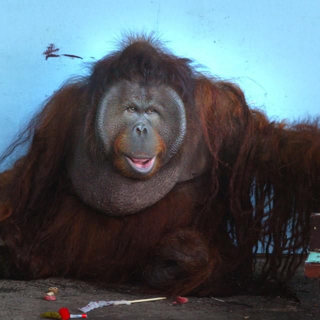 Orangutan face flaps